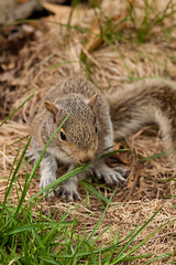 Young Eastern Gray Squirrel (Erin Cadigan Photography) Tags: usa baby brown tree nature grass animal america forest fur outside mammal outdoors grey rodent newjersey furry woods squirrel branch unitedstates natural north gray young nj ground eastern juvenile midwestern omnivorous carolinensis sciurus