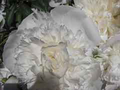 ** Au cours de mes promenades... ** - 13 (Impatience_1 (Peu...ou moins prsente)) Tags: flower fleur peony m impatience pivoine coth supershot abigfave saveearth citrit alittlebeauty coth5 sunrays5