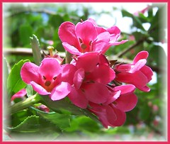 Pink Blossom (ERIK THE CAT) Tags: flowers estate blossom manor stafford