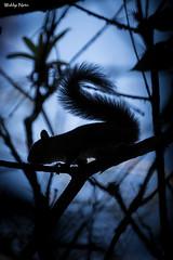 Caxinguel nas sombras (Waldyr Neto) Tags: floresta esquilo caxinguel