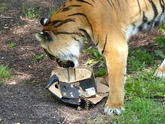 Sumatratiger (Chriest) Tags: sumatratiger pantheratigrissumatrae wilhelmastuttgart
