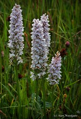 Heath /Common Spotted Orchids - Bedfordshire (Alan Woodgate) Tags: