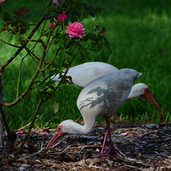 Ibis in the Rose Garden (all one thing (on and off...)) Tags: nature birds rose ibis rosegarden hww sturgeonmemorialrosegarden wackyweekends ibisintherosegarden zombieibis ibislawnornaments