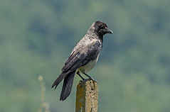 DSC1477 Hooded Crow.. (jefflack Wildlife&Nature) Tags: nature birds countryside woodlands wildlife farmland tuscany fields crow crows avian wildbirds hoodedcrow corvids