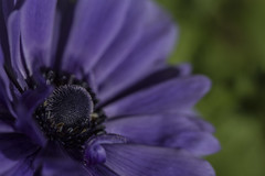 Purple - Anemone May 2016 (GOR44Photographic@Gmail.com) Tags: flower macro green canon garden petals purple 100mm anemone 100mmf28 canon100mm gor44