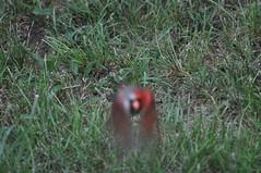 DSC_0073 (Gary Storts) Tags: cardinal gynandromorph gynadromorph orninthology birdwatching birds cardinalis northerncardinal cardinaliscardinalis