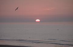 Belgian coast (Natali Antonovich) Tags: sunset sea sun bird nature water landscape seaside seagull horizon northsea seashore seasideresort belgiancoast wenduine seaboard
