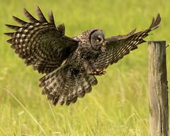 Great Grey Owl (JB Bar) Tags: breakfast mouse explore greyowl prairiecreek