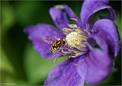 Two Pieces of Nature (Hindrik S) Tags: clematis fly hoverfly zweefvlieg sweefmich insect ynsekt flower blom plant bloem nature natuur natoer naturesfinest naturewatcher macro tamronspaf90mmf28dimacro 90mm creation skepping schepping schpfung closeup tamron sonyphotographing sony sonyalpha a57 57 slta57 2016 ngc