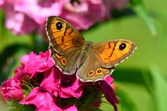DSC_9557 (sylvettet) Tags: nature butterfly 2016 nikond5100