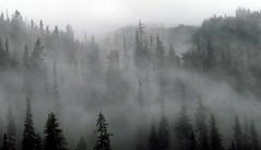 Northern Forest (Dru!) Tags: morning camp cloud mist canada green wet rain misty fog forest bc britishcolumbia gray spruce coastmountains unuk iskut ksm bell2 boundaryranges needstocleartoflyanywhere seabridgejune2016