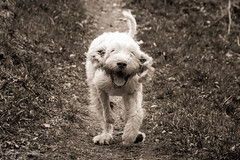 Hendrix Run! (Forty-9) Tags: blackandwhite bw dog holiday june canon easter walk run devon tuesday lightroom easterholidays italianspinone 2016 spinone ef70300mmf456isusm eflens forty9 eos60d tomoskay 21062016 hendrixrun 21stjune2016