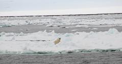 Polar bear in sight (carina.ericsson) Tags: snow ice water svalbard polarbear hinlopen