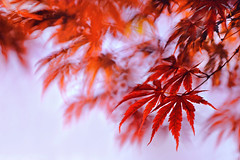 Red Maple in June (lfeng1014) Tags: macro closeup maple dof bokeh depthoffield japanesemaple canadaday mapleleaves redmaple macrophotography happycanadaday lifeng canon5dmarkiii 70200mmf28lisii