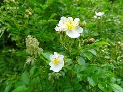 Wein-Rose (Rosa rubiginosa) (warata) Tags: flower fleur rose germany deutschland pflanze shrub blume blte strauch whiteflowers 2016 rosarubiginosa wildblume wildpflanze weinrose