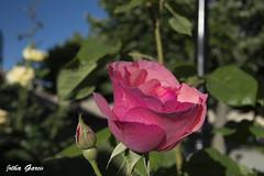 Su aroma nunca se pordra cortar (Jotha Garcia) Tags: naturaleza plant flower primavera nature june rose garden spring nikon bokeh jardin rosa junio castillalamancha 2016 nikond3200 brihuega jothagarcia