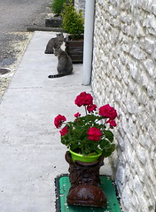 101_1719 (Cassiope2010) Tags: fleur chat animaux chaussure granium