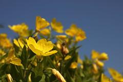 Colors of summer (pawianxc) Tags: flowers blue sky flower green yellow kwiaty kwiat niebo