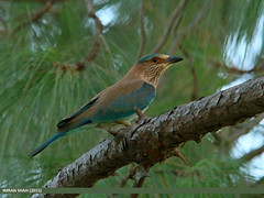 Indian Roller (Coracias benghalensis) (gilgit2) Tags: pakistan birds fauna canon geotagged wings wildlife feathers sigma tags location species category avifauna islamabad rawallake coraciasbenghalensis sigma150500mmf563apodgoshsm imranshah indianrollercoraciasbenghalensis canoneos70d gilgit2