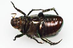 koganemushiml_ds8_3743 (takao-bw) Tags: japan insect beetle coleoptera scarabbeetle
