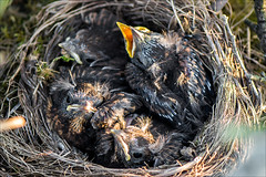 blackbird nest - hungry baby birds (pajus79) Tags: baby black bird nature look animal square nikon open blind nest little watch beak young grow hidden hide observe tiny hungry feed nake 10528 d80