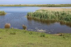 Salzensee, Flutender Wasserhahnenfu (julia_HalleFotoFan) Tags: ranunculus fehmarn westermarkelsdorf ranunculusfluitans hahnenfus salzensee flutenderwasserhahnenfus
