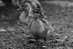 Baby Duckling (aliboo2011) Tags: eastyorkshire wildlifetrust northcavewetlands