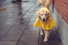 Rainy day fun (Fer-B.) Tags: dog reflection rain weather yellow goldenretriever fun outdoors play blues run raincoat mascotas sidewalkcity