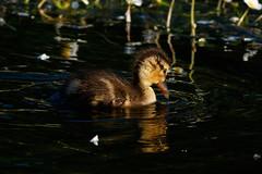 _F0A2972.jpg (Kico Lopez) Tags: birds rio spain aves galicia lugo mio anasplatyrhynchos anadeazulon