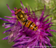 Hoverfly  Episyrphus Balteatus (alanj49) Tags: hoverfly episyrphusbalteatus