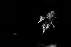 20160702 Heian Jingu shrine 4 (BONGURI) Tags: shadow bw fern monochrome nikon df kyoto shrine jp   shinto  shintoshrine  heianjingu       heianjingushrine  afsvrmicronikkored105mmf28gif sakyoward