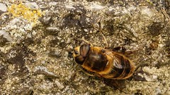 insecte (Yasmine Hens) Tags: macro europa flickr belgium ngc abeille insecte namur hens yasmine wallonie world100f iamflickr flickrunitedaward hensyasmine