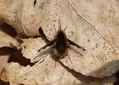 Bee Fly (Hairy Caterpillar) Tags: fly bee bombyliusmajor