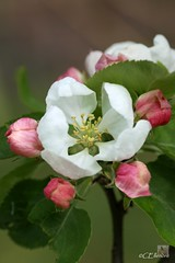 Apfelblte  / apple blossom (Ellenore56) Tags: trees light inspiration color colour detail macro reflection tree apple floral fruits weather garden botanical licht photo flora focus foto blossom magic perspective may explore mai bloom vista imagination outlook bud moment makro blte magical farbe reflexion bume garten baum apfel flowerpower wetter perspektive challenging appletree fascinating reflektion apfelbaum knospe dud appleblossom augenblick fokus florescence flowerbud botanik goldendelicious apfelblte faszination explored bltenzauber pflanzenwelt faszinierend apfelsorte bltenknospe tafelobst sonya350 kulturapfel ellenore56 dessertfruit tafelobstsorte 09052013 goldenerkstlicher fruitvarieties