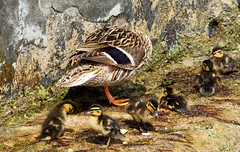 Best wishes to all mothers ♥♥♥ (Rossella De Amici) Tags: duck puppies mamma chicks mummy anatra pulcini