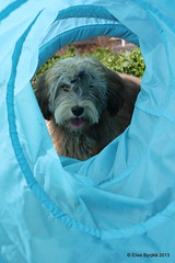 Tube Elmo (elsu) Tags: irish dog puppy cola terrier norris wheaten havanese softcoatedwheatenterrier koira softcoated leutola irishsoftcoatedwheatenterrier pentu vehnterrieri vehnis xaviernorris norriscola havannankoira bischonhavanese nocoel