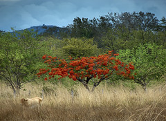 In cerca di cibo (Roberto Brambilla) Tags: rosso malinche secco vacca
