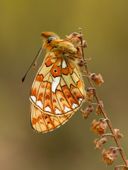 Pearl-bordered Fritillary - Boloria euphrosyne (Gary Faulkner's wildlife photography) Tags: pearlborderedfritillary rewellwood butterflyconservation sussexbranch