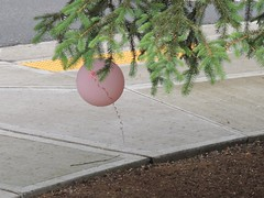 pink ~ 12 trapped balloon (Upupa4me) Tags: pink tree trapped dangerous balloon litter sidewalk helium pollution fir ribbon curl 365daysincolour