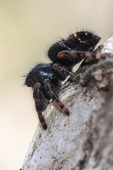 Jumping spider (Phidippus audax?) (Museumgeek) Tags: nature animals colorado spiders wildlife insects boulder arachnids arthropods phidippus