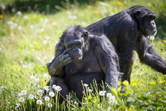 Q02A4841.jpg (Denzil Burriss) Tags: nature animal warning canon zoo chimp wildlife may kansascity missouri chimpanzee dslr kansascityzoo 2013