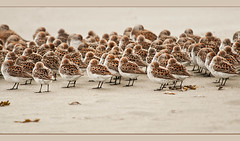 Little Shore Birds in a Row (TT_MAC) Tags: beach sanderling shorebirds chestermanbeach tofinobc westcoastofvancouverisland calidrisalbapacifica