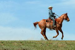 Racing Cowboy (Todd Klassy) Tags: ranch travel horse brown man motion color field grass leather animal horizontal composition contrast rural speed season landscape one moving spring cowboy montana day mt ride legs farm cleveland country fast running run rope riding american single western copyspace agriculture middle hillside chinook rancher sideview cowboyhat equestrian wildwest chaps horseback centered slope isolated branding hilltop stallion saddle chasing roundup caucasian wrangler gait greatplains galloping americanquarterhorse workingmen runninghorse ranchhand westernart blainecounty horsesgalloping realcowboys beefindustry cowboyphotography toddklassy