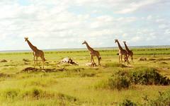 Some Giraffe at Amboselli (RiserDog) Tags: africa kenya giraffe amboselli ambosellinationalpark