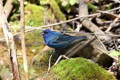 Indigo Bunting (male-spring) (Jeremy Meyer) Tags: blue bird indigo milwaukee lakepark bunting indigobunting