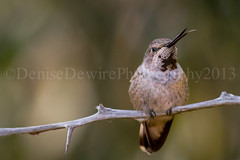 Anna's Hummingbird (DeniseDewirePhotography) Tags: bird tongue hummingbird twig annashummingbird caminorealpark