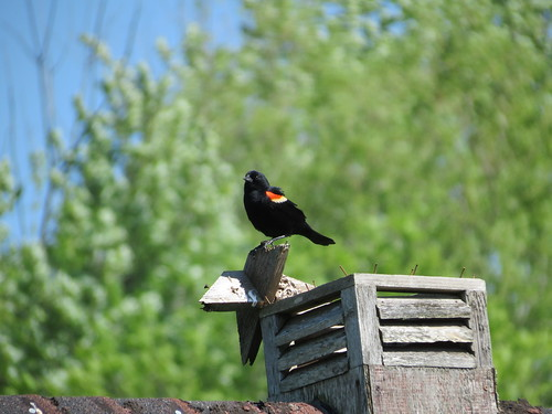 Red-Winged Blackbird - Missouri by SpeedyJR