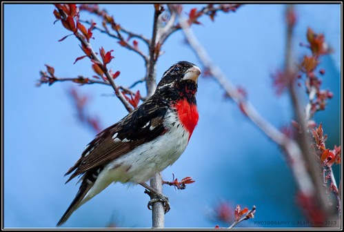 Male Rosebreasted Grosbeak