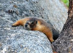 Marmot at Rest DSC_0323 (John Dreyer) Tags: nature animals nikon wildlife environment marmot yosemitenationalpark nationalparks adventuretravel glenaulintrail squirrelfamily photocreditjohndreyer nikond5100 copyright2013johndreyer