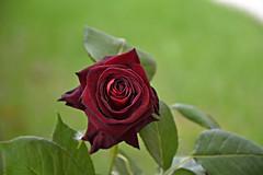 rosa black baccara (123ziobilly) Tags: mare gondola spiaggia vacanza ferie isola rosablackbaccarabassanovicenzapadovatrevisoveneziaveronabellunorovigovenetobacioamorearteromanticostatuacittpontebronzoalpinofiumevacanzadonnauomofemminapiazzacuoretempopasseggiatacaseprovinciasantamariadisalacasel